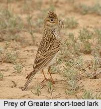 Greater Short-Toed Lark, Indian Bird