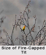 Fire-Capped Tit, Indian Bird