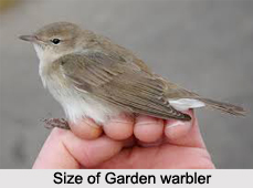 Garden Warbler, Indian Bird