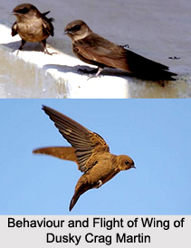 Dusky Crag Martin, Indian Bird
