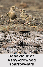 Ashy-Crowned Sparrow-Lark, Indian Bird