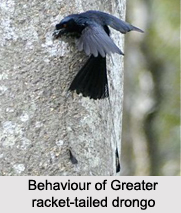 Greater Racket-Tailed Drongo, Indian Bird