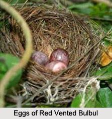 Red-Vented Bulbul, Indian Bird
