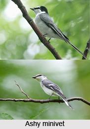 Ashy Minivet, Indian Bird