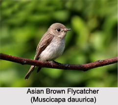 Asian Brown Flycatcher, Indian Bird
