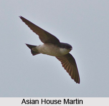 Asian House Martin, Indian Bird