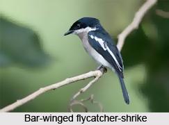 Bar-Winged Flycatcher-Shrike, Indian Bird