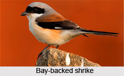 Bay-Backed Shrike, Indian Bird