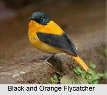 Black-And-Orange Flycatcher, Indian Bird