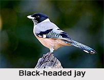 Black-Headed Jay, Indian Bird