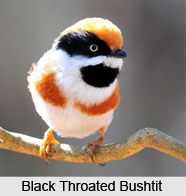 Black-Throated Bushtit, Indian Bird