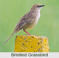 Bristled Grassbird, Indian Bird
