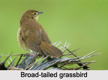 Broad-Tailed Grassbird, Indian Bird
