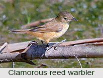 Clamorous Reed Warbler, Indian Bird