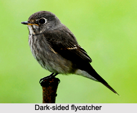 Dark-Sided Flycatcher, Indian Bird