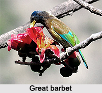 Great Barbet, Indian Bird