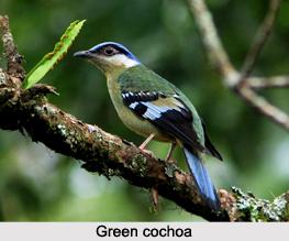 Green Cochoa, Indian Bird