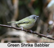 Green Shrike-Babbler, Indian Bird