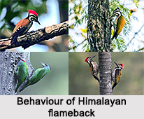Himalayan Flameback, Indian Bird