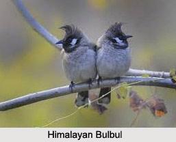 Himalayan Bulbul, Indian Bird