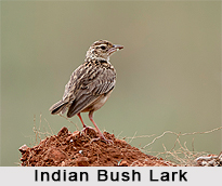 Indian Bush Lark, Indian Bird
