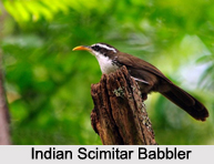 Indian Scimitar Babbler, Indian Bird
