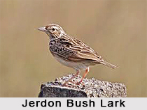 Jerdon's Bush Lark, Indian Bird