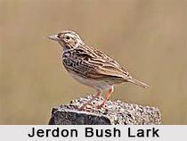 Jerdon's Bush Lark, Indian Bird