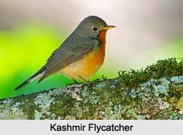 Kashmir Flycatcher, Indian Bird