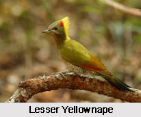 Lesser Yellownape, Indian Bird