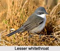 Lesser Whitethroat, Indian Bird