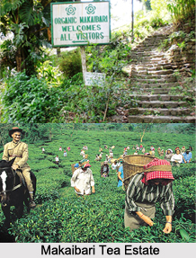 Makaibari Tea Estate, Darjeeling Tea Estates