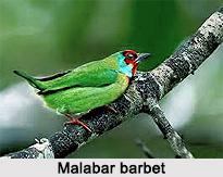 Malabar barbet, Indian Bird