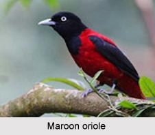Maroon Oriole, Indian Bird