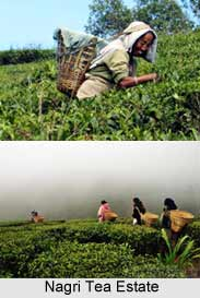 Nagri Tea Estate, Darjeeling Tea Estates