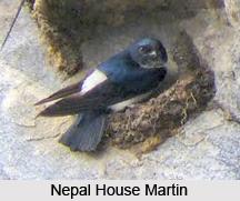 Nepal House Martin, Indian Bird