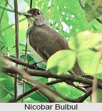 Nicobar bulbul, Indian Bird