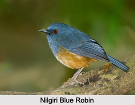 Nilgiri Blue Robin, Indian Bird