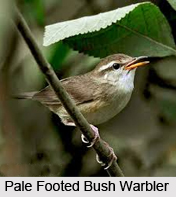 Pale-Footed Bush Warbler, Indian Bird