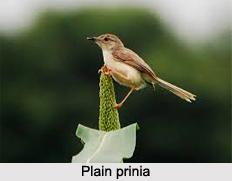 Plain Prinia, Indian Bird