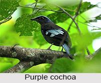 Purple Cochoa, Indian Bird