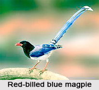 Red-Billed Blue Magpie, Indian Bird