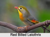 Red-Billed Leiothrix, Indian Bird