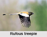 Rufous Treepie, Indian Bird