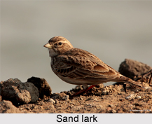 Sand Lark, Indian Bird