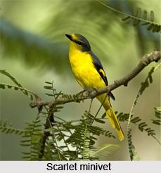 Scarlet Minivet, Indian Bird