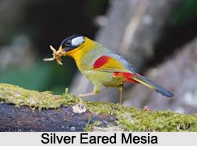 Silver-Eared Mesia, Indian Bird