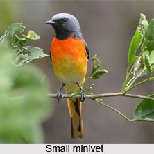 Small Minivet, Indian Bird