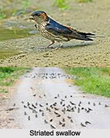 Striated Swallow, Indian Bird