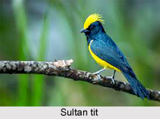 Sultan Tit, Indian Bird